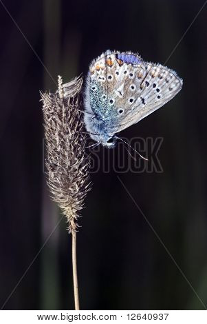 Blue Tip Butterfly