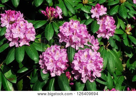 close up on pink Rhododendron blooming in spring