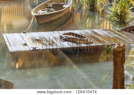 Alligator on wooden dock in water with boat.