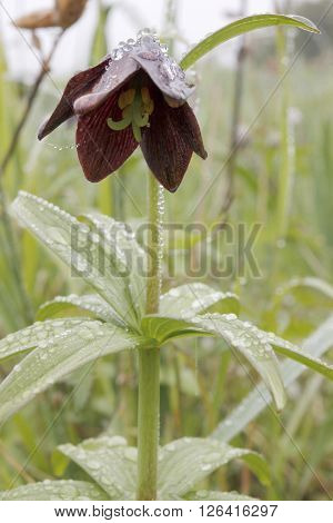 Bell flowers in fog in Northern latitudes
