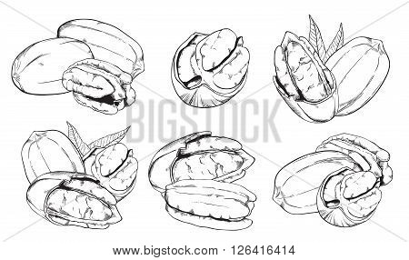 Pecan on white background. Pecan seeds. Engraved bitmap illustration of leaves and nuts of peacan. Isolated pecan. Bitmap illustration.