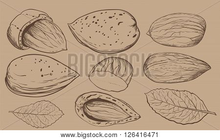 Almond on light brown background. Almond seeds. Engraved bitmap illustration of leaves and nuts of Almond. Isolated almond.