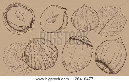 Hazelnut on light brown background. Hazelnut seeds. Engraved bitmap illustration of leaves and nuts of hazelnut. Isolated hazelnut.