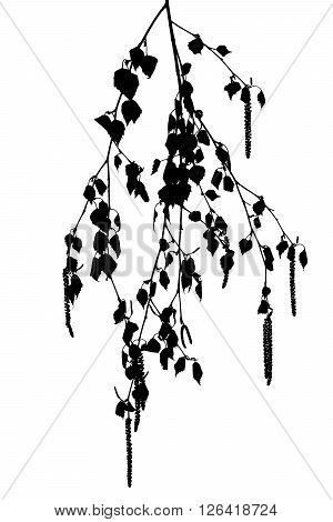 Silhouette of birch twig with catkins on a white background.
