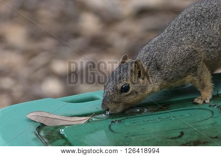 Closeup photo of a squirrel drinking rain water from a green tub lid after a storm in a leaf filled back yard
