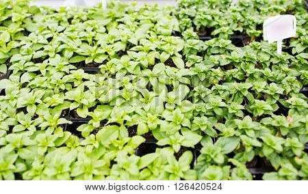gardening, plants, farming and botany concept - close up of seedlings in farm greenhouse