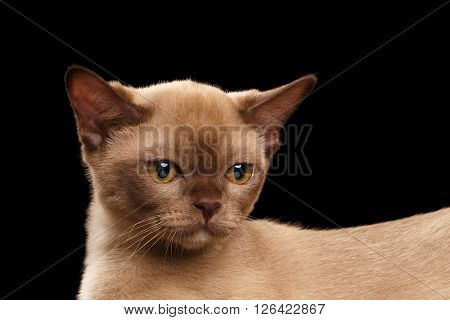 Closeup Little Burmese kitten with Back beige fur on Isolated black background