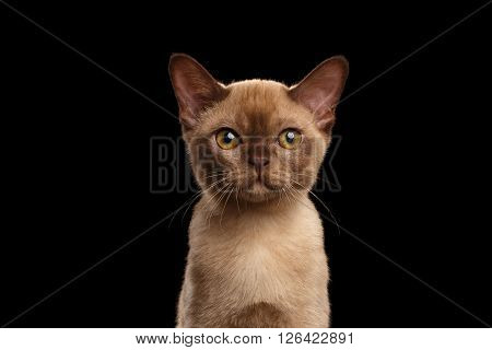 Closeup portrait of Cute Burmese kitten with beige fur on Isolated black background