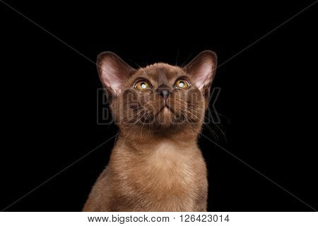 Closeup Portrait of Burmese kitten with Chocolate fur Curious Looking up Isolated on black background