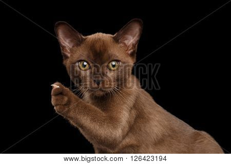 Closeup Burmese kitten with Chocolate fur on Isolated black background Curiously Looking in Camera and showing claw on Raised paw