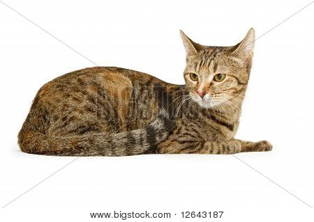 Young Tabby Kitten Isolated On White