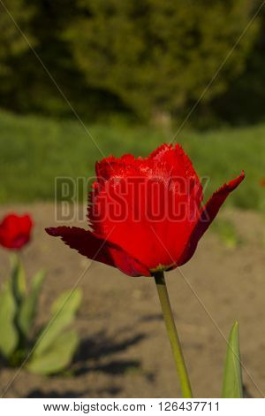 Beautiful Red Fringed Tulip, summer day in the botanical garden