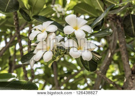 White plumeria on the plumeria tree, Frangipani tropical flowers