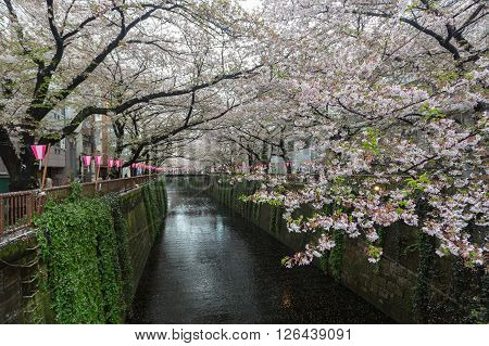 Tokyo Japan - April 7 2016: Nakameguro Canal this area is popular sakura spot in Tokyo with beautiful canal.