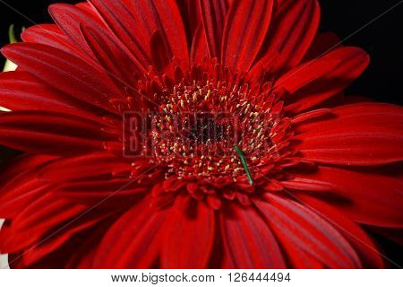 Close Up Of Red Daisy Gerbera Flower On Black Background. Lights And Shadows. Spring Time Nature Det
