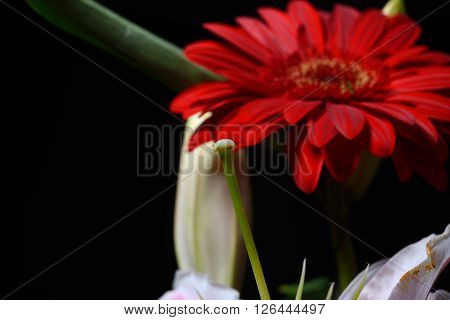 Picture Of Red Daisy Gerbera Flower On Black Background. Lights And Shadows. Selective Focus. Spring