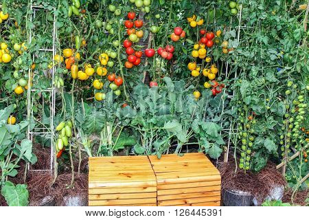 Tomatoes and chinese kale vegetable in decorated garden with wooden bench .