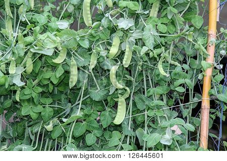 Pod of green snow peas on plant in the vegetable garden, agriculture.