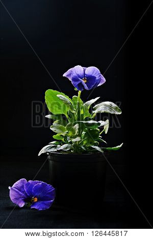 Viola Flower in the pot on the black background