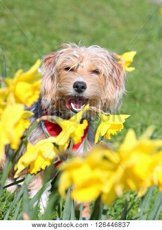 A puppy panting in a field of daffodils
