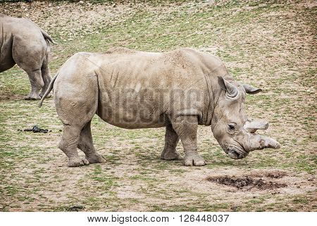 Side view of a White rhinoceros (Ceratotherium simum simum). Animal theme. Critically endangered animal species.