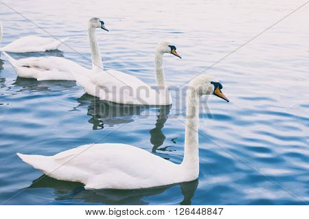 Flock of swans on the city river