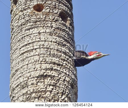 Male Pileated Woodpecker Looking Out His Nest
