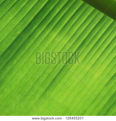 Line texture banana leaf with for background