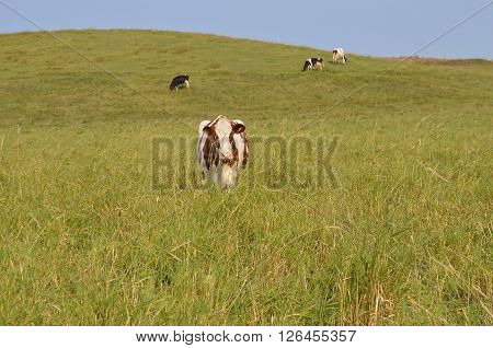 Several cows graze in a pasture of rolling hill which includes a red and white dairy animal