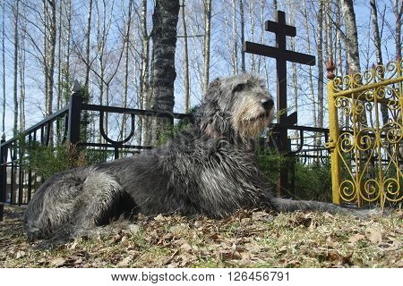 shot of dog pining at the grave