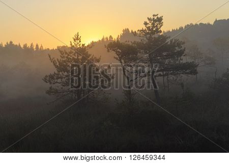 Sunrise in the bog with pine trees