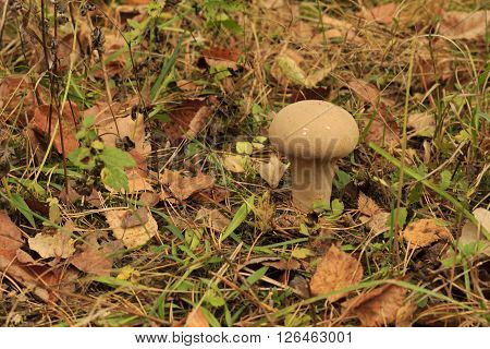 mushroom and abscissed leaves in autumn forest