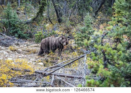 Big brown bear looking for nuts, roots, tubers and stems of grasses. Autumn forest in Jasper National Park, Canada