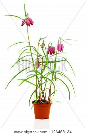 Snake's Head Fritillary - Fritillaria meleagris on white background
