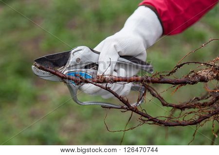 Pruning of root fruit trees before planting into soil
