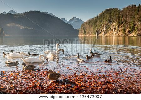 Selective focus of Swans and teal wild ducks swim in Hohenschwangau lake with bavarian alps in Germany