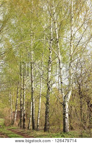 Beautiful birch outside city in countryside. Spring in birch grove.