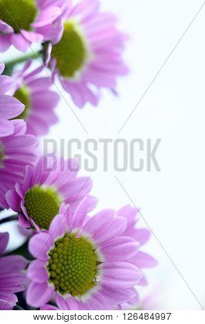 Purple Daisy Flowers