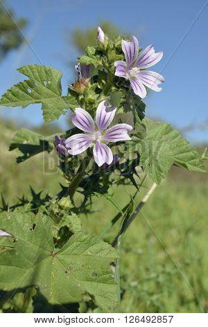 Small or Cretan Tree Mallow - Lavatera cretica Wild Flower from Cyprus