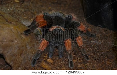 Big hairy Tarantula (Theraphosidae) at a terrarium in a zoo