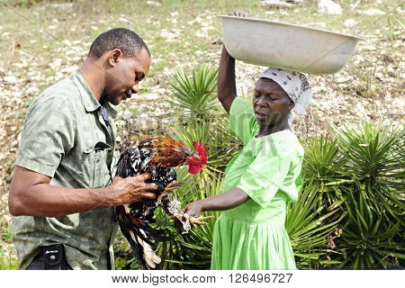 FOND BAPTISTE, HAITI - FEBRUARY 18, 2016:  A Haitian man holding the live rooster he's buying for dinner from a woman on her way to market.  The woman is tying the rooster's feet for easy transport.