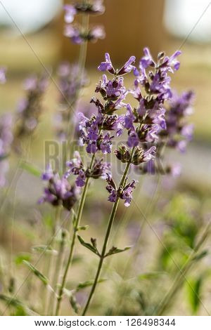 Blossoming purple salvia flowers, flora of Israel. Close-up, selective focus.