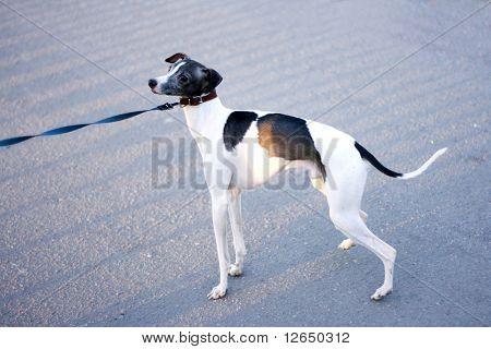 niedlichen Welpen Hund Doggy Cutie an der Leine