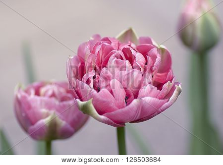 spring flowers tulips pink Terry janovicky Up Pink ** Note: Shallow depth of field
