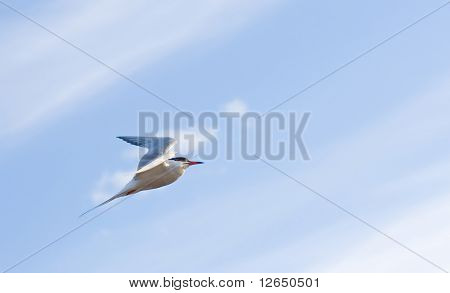 soaring seagull bird flies across a bright blue cloudy sky getting  higher and higher