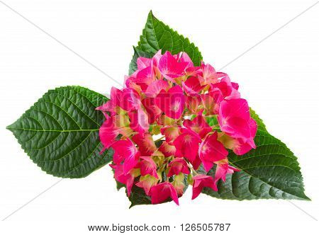 brunch of  fresh pink hortensia flowers twig  isolated on white background