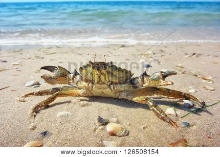 Crab on the sand. Beautiful beach with crab.