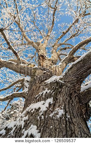 A snowy winter scene looking up at tall and old Oak tree covered with fresh snow against a pretty blue sky.