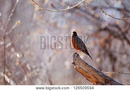 Robin (Turdus migratorius) standing on a tree stump.