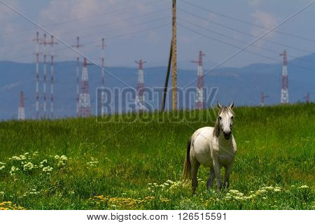 White stallion in the field with power transmission line support Armenia.